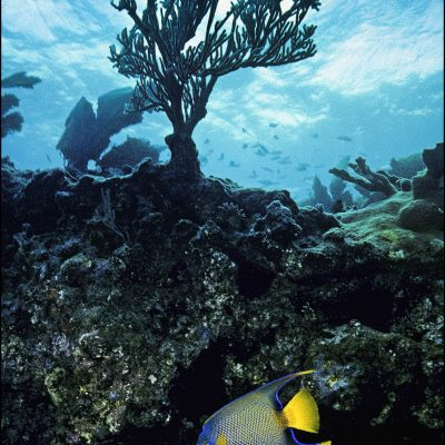A Queen Angel Fish explores a reef in John Pennekamp Coral Reef State Park near Key Largo in the Florida Keys.