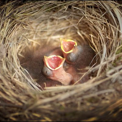 Baby birds in a nest begging their mother for a meal in North Carolina.