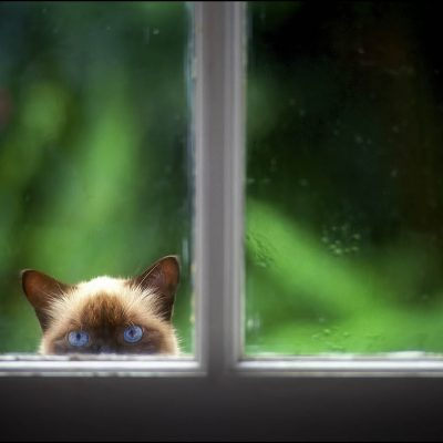 Claudine Laabs cat peeks inside her French Doors from the outside in West Palm Beach, Florida.